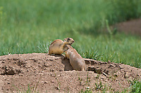 673030137 apair of wild utah prairie dogs cynomys parvidens a threatened species interact  by their burrow in bryce canyon national park utah united states