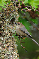 Adult male Bushtit (Psaltriparus minimus) arriving at its nest with a spider for its young. King County, Washington. May.