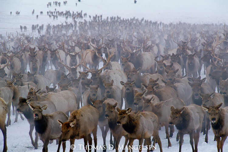 Few places, if any, are home to as high a concentration of elk as the National Elk Refuge in Jackson Hole, Wyoming.