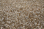 Wheat close up, Suffolk farming landscape scenery, East Anglia, England