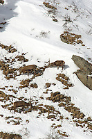 Red deer stags in the snow