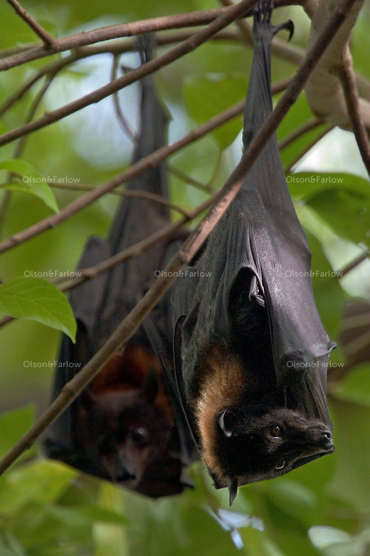 Fruit Bats hang from the trees in Kakadu National Park. The wildlife, also known as flying foxes, eat fruit and lick nectar from flowers. Megabats is the term unsed informally to refer to bats of the family of Pteropodidae.
