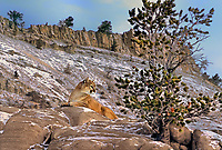 656326374 a captive mountain lion felis concolor rests on a snow covered rock outcrop on a steep hillside in northern montana