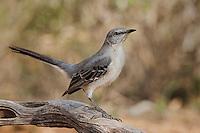 Northern Mockingbird, Santa Clara Ranch, Texas