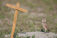 Burrowing Owl (Athene cunicularia) and T-perch near its burrow