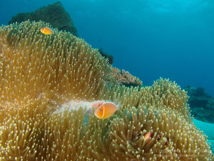 Ulong Channel, Palau -- Pink Anemonefish in a sea anemone.