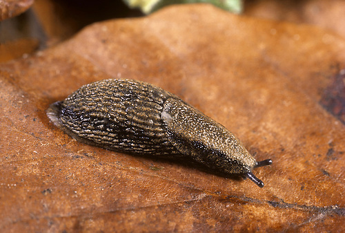Common Garden Slug - Arion distinctus