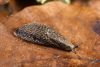 Common Garden Slug - Arion distinctus
