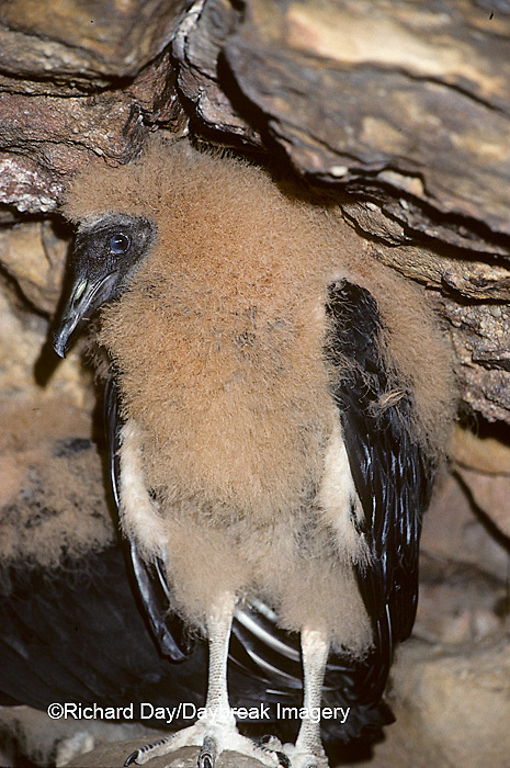 00781-00217 Black vulture (Coragyps atratus) nestling, approx 8 wks old, Shawnee NF   IL