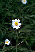 Chile. Perfect daisy.