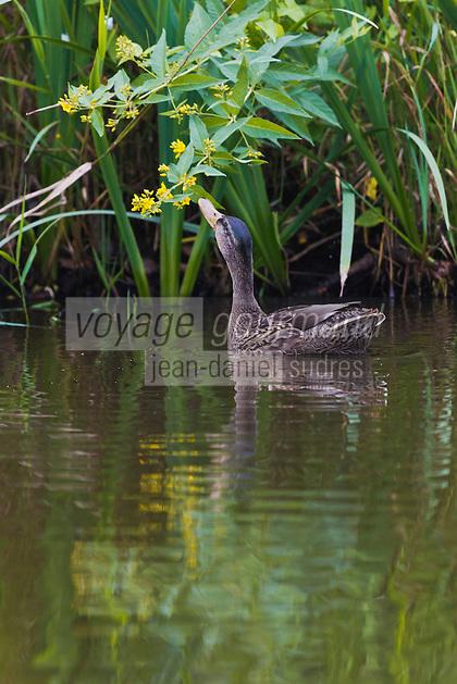 Europe/France/Pays de la Loire/44/Loire Atlantique/Parc naturel régional de Brière/Ile de Fedrun/Saint-Joachim: Canard dans le marsi Briéron