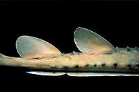 Horned tail of, Platyrhinoidis triseriata, Channel Islands, California, USA, - Pacific Ocean