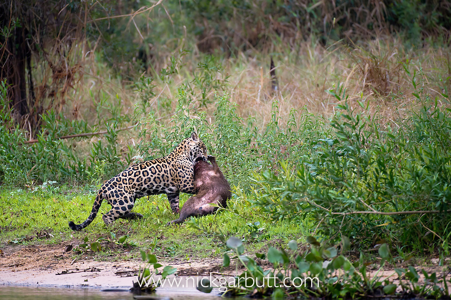 Wild male Jaguar (Panthera onca palustris) predating a Capybara (Hydrochaeris hydrochaeris) at the edge of a tributary of Cuiaba River, Northern Pantanal, Brazil.