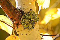 Symbiotic relationship of green lichen on white bark aspen in the Flathead National Park Montana