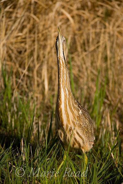 American Bittern (Botaurus lentiginosus), cryptic behavior with bill pointed upward allows it to hide in marsh vegetation, Montezuma National Wildlife Refuge, New York, USA