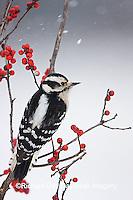 01206-033.03 Downy Woodpecker (Picoides pubescens) female in Common Winterberry (Ilex verticillata) in winter, Marion Co. IL