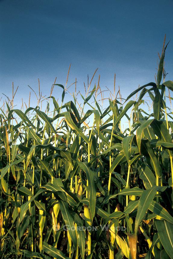Corn Stalks in Early Morning Sunshine