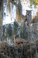 Great horned owl nesting family
