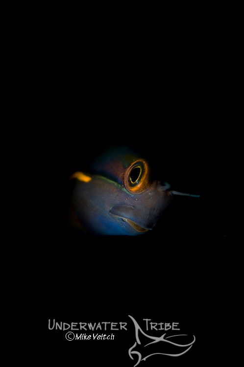 Spot Tail Combtooth Blenny portrait, Ecsenius stigmatura, Raja Ampat, West Papua, Indonesia, Pacific Ocean