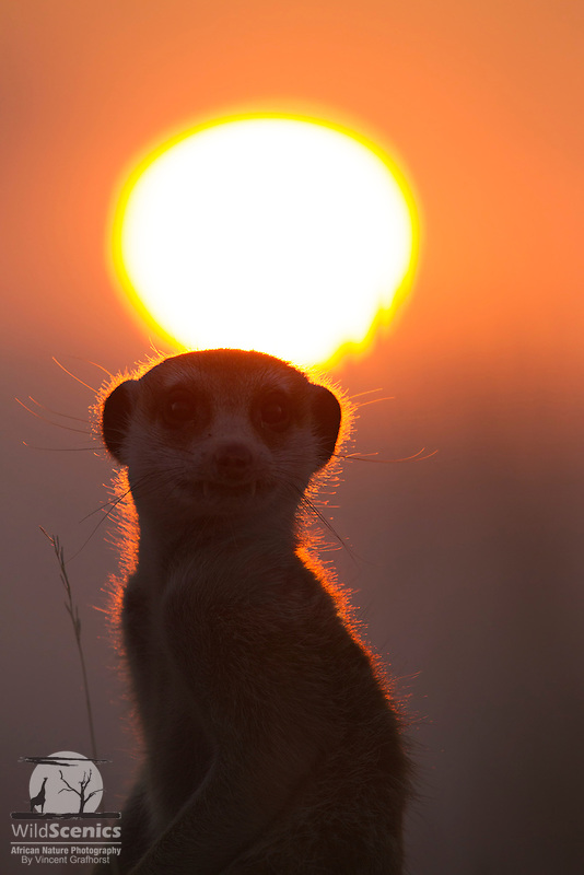 Meerkat silhouetted at sunset