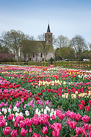 Hortus Bulborum - Tulips