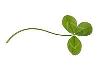 Weiss-Klee, Weissklee, Weiß-Klee, Weißklee, Kriech-Klee, Kriechklee, Klee, Trifolium repens, Ladino Clover, White Clover, Dutch clover, Ladino, le trèfle rampant. Blatt, Blätter, leaf, leaves