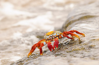 Sally Lightfoot Crab (Grapsus grapsus), adult, standing on rock with wave flowing over, Galapagos Islands, Ecuador, South America