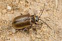 Heather Beetle {Lochmaea suturalis}, sometimes seen as a moorland pest as it eats heather. Peak District National Park, Derbyshrie, UK. April.