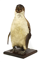 BNPS.co.uk (01202 558833)<br /> Pic: Sworders/BNPS<br /> <br /> Pick up a penguin from the Heroic Age of polar exploration<br /> <br /> A stuffed penguin collected by scientists during the Captain Scott's infamous expedition of Antarctica has turned up for sale 107 years later.<br /> <br /> The taxidermy Adelie penguin stands at 18.5ins and is a relic of the Terra Nova voyage that took place between 1910 and 1913.<br /> <br /> The expedition's doctor Edward Leicester Atkinson brought it back to Britain and later gifted it to Sir James Porter and his wife.<br /> <br /> Sir James, who was a Surgeon Vice-Admiral in the Royal Navy, kept the flightless bird and passed it down through is family.