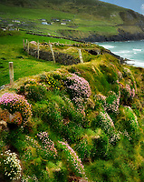 Sea thrift or sea pinks or Sea Ivory,blooming on coast off Slea Head Drive. County Kerry, Ireland