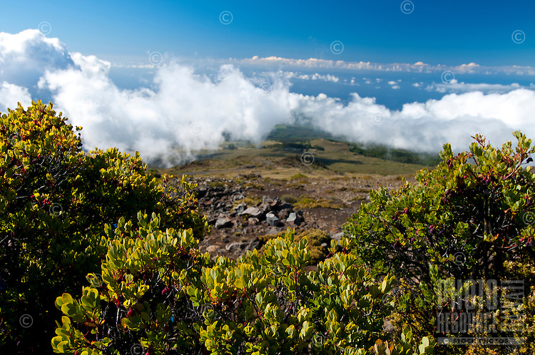 'Ohelo berry bushes, Haleakala National Park, Maui.
