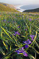 Wild Iris, Point Reyes II