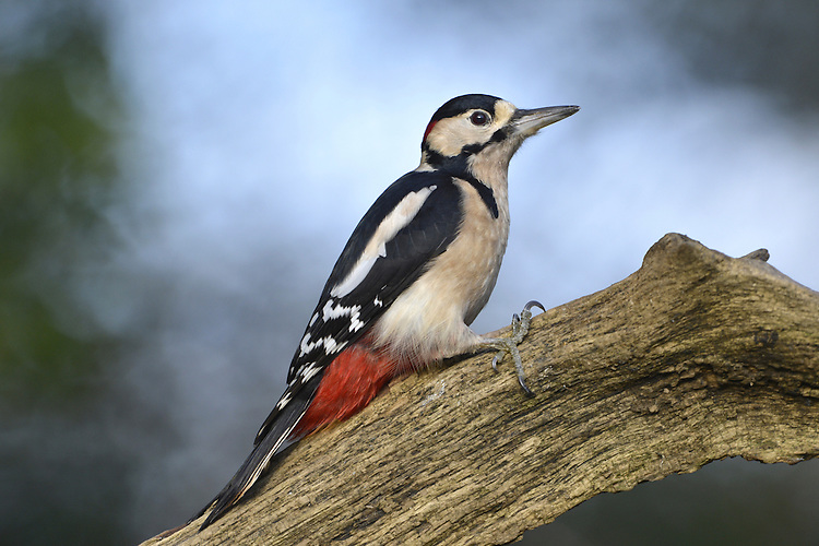 Great Spotted Woodpecker Dendrocopus major L 23-24cm. Commonest pied woodpecker with undulating flight. Sexes are separable. Adult Male is mainly black on back, wings and tail with white 'shoulder' patches and narrow white barring; underparts are grubby white. Face and throat are white while cap and nape are black and connect via black line to black stripe from base of bill. Has red nape patch and vent. Adult female is similar but red nape patch is absent. Juvenile recalls adult male but has red crown and subdued red vent colour. Voice Utters a loud tchick alarm call. Males 'drum' loudly in spring. Status Widespread, commonest in S and central England and Wales.