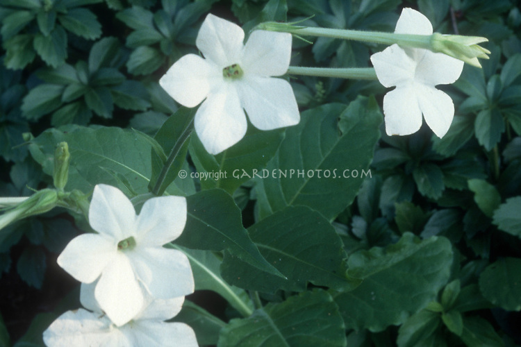 Flowering Tobacco Nicotiana alata in fragrant white flowers in summer