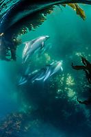 Peale's dolphin, Lagenorhynchus australis, adult, in kelp forest, New Island, Falkland Islands, South Atlatnic Ocean
