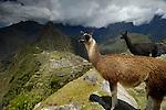 Llamas overlooking Machu Picchu in Peru. © Michael Brands. 970-379-1885.