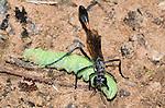 Thread-waisted Wasp (Ammophila) female with caterpillar prey, Lexington Wildlife Management Area, Oklahoma, USA