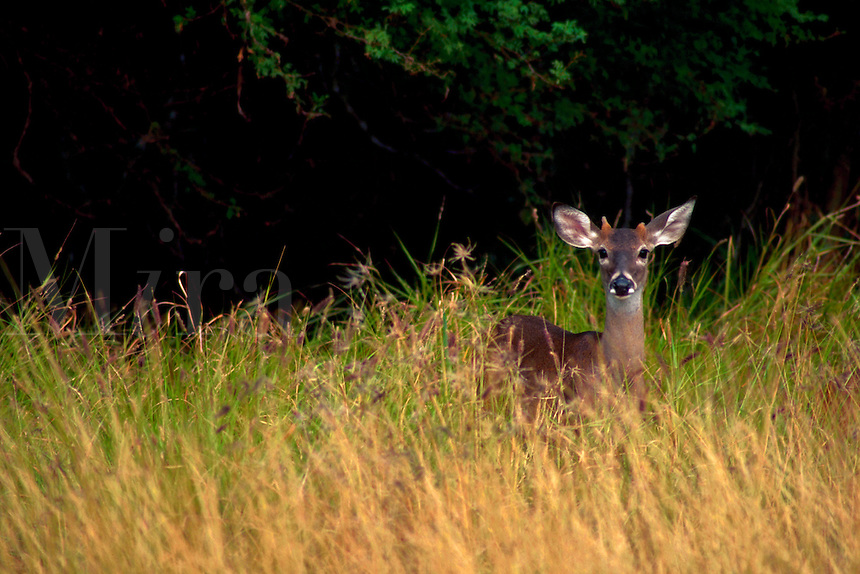 A young deer in tall grass.