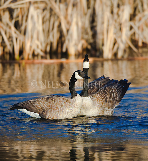 Canada Geese posturing in a marsh stream