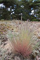Silbergras, Silber-Gras, Corynephorus canescens, Grey Hair Grass