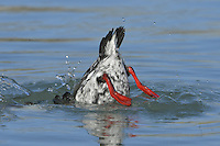 Black Guillemot Cepphus grylle - Winter plumage. L 34cm. Charming, coastal auk. Swims well and dives for Butterfish and other bottom-dwellers. Sexes are similar. Adult in summer has mainly sooty-brown plumage except for striking white patch on wing. Has red legs and orange-red gape. In winter, has scaly grey upperparts and white upperparts; black wings and contrasting white wing patch are retained. 1st winter bird is similar to a winter adult but white wing patch contains dark markings. Voice Utters high-pitched whistling calls. Status Local year-round resident in inshore waters of Ireland and N and W Scotland.
