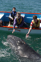 pr5393-D. Gray Whale (Eschrichtius robustus), curious calf approaches boat to accept gentle human touch. San Ignacio Lagoon, Baja, Mexico..Photo Copyright © Brandon Cole. All rights reserved worldwide.  www.brandoncole.com..This photo is NOT free. It is NOT in the public domain. This photo is a Copyrighted Work, registered with the US Copyright Office. .Rights to reproduction of photograph granted only upon payment in full of agreed upon licensing fee. Any use of this photo prior to such payment is an infringement of copyright and punishable by fines up to  $150,000 USD...Brandon Cole.MARINE PHOTOGRAPHY.http://www.brandoncole.com.email: brandoncole@msn.com.4917 N. Boeing Rd..Spokane Valley, WA  99206  USA.tel: 509-535-3489