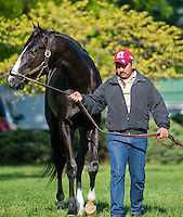 Black Onyx walks and grazes after morning workouts for the Kentucky Derby at Churchill Downs in Louisville, Kentucky on April 30, 2013.