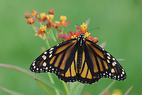 Monarch, Danaus plexippus, adult on Mexican Milkweed (Asclepias curassavica), Willacy County, Rio Grande Valley, Texas, USA