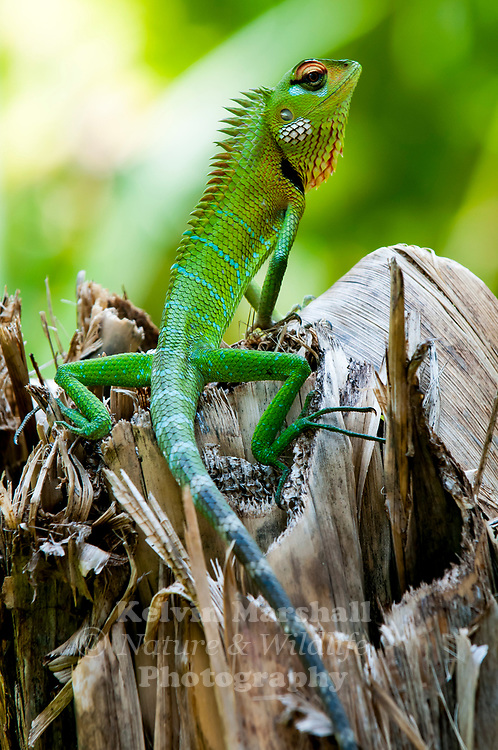 Common green forest lizard (Calotes calotes) - is an agamid lizard found in the forests of the Western Ghats and the Shevaroy Hills in India, and Sri Lanka.