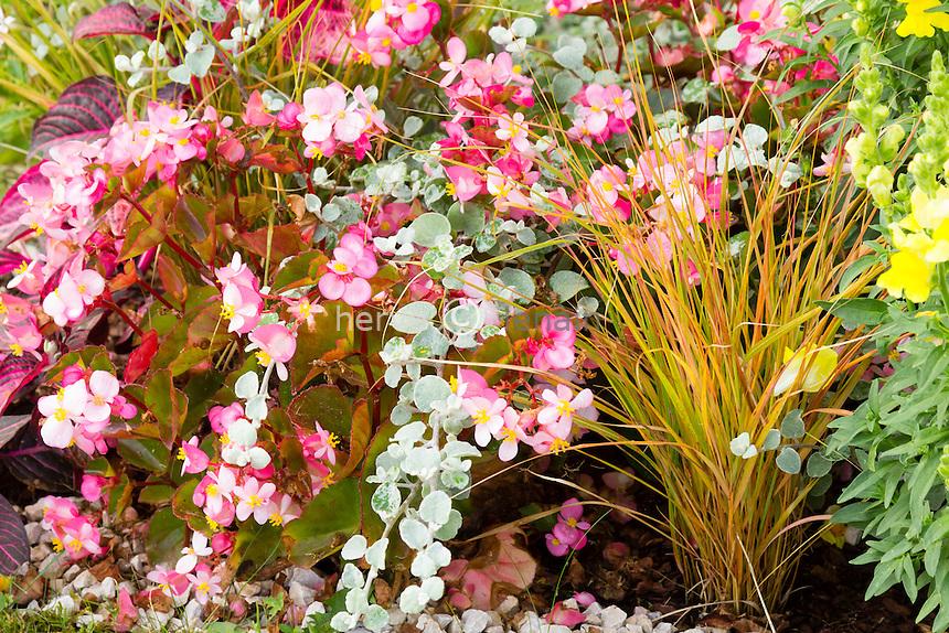 Bégonia (Begonia X semperflorens), Helichrysum petiolare et Carex testacea // Begonias (Begonia X semperflorens), licorice (Helichrysum petiolare) and Carex testacea
