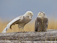 A pair of snowy owls perched on a driftwood log, the male stretching his wing.<br />