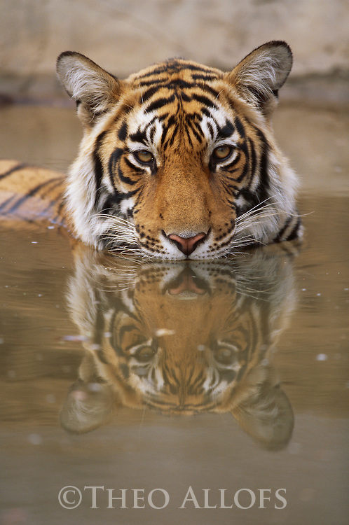 A 15 month old Bengal tiger cub cools off in the water; Ranthambhore National Park, Rajasthan, India