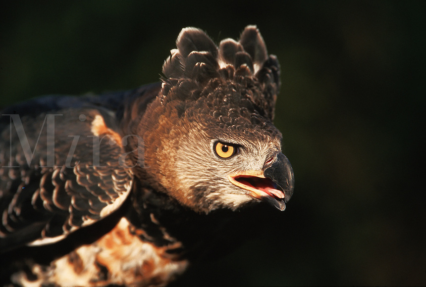 An African crowned eagle (Stephanoetus coronatus) displays aggression.