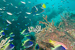 Sea of Cortez, Baja California, Mexico; an aggregation of juvenile Blue-and-yellow Chromis, Scissortail Chromis, Mexican Hogfish and King Angelfish swimming above the rocky reef